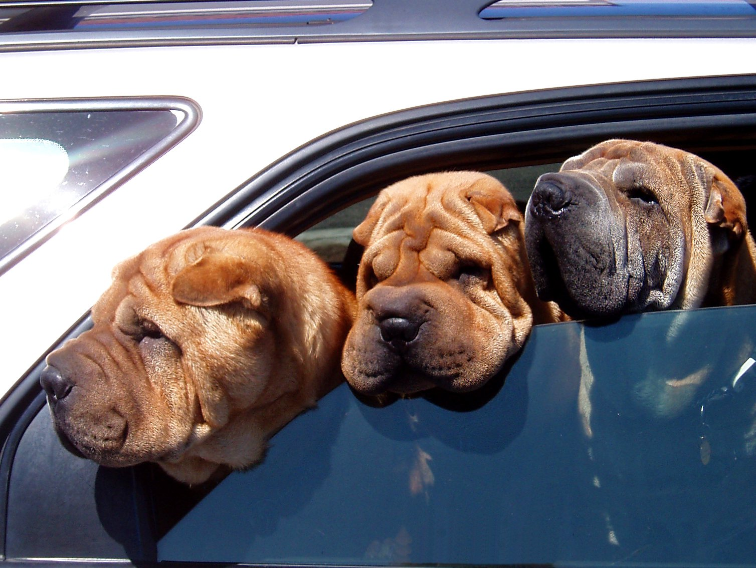 Three Shar Pei dogs with their heads hanging out the car window