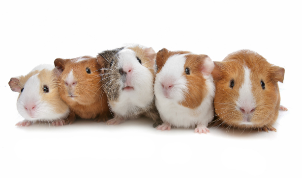 Five guinea pigs sitting in a row