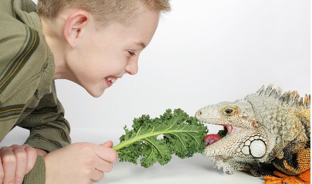 A young boy smiling and feeding his pet Iguana some kale