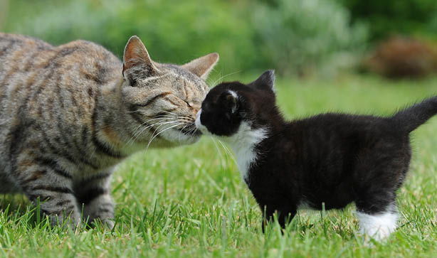 An older cat meeting a kitten and sniffing their face to say hello