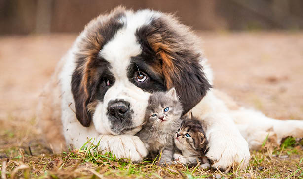 A St Bernard dog hugging two grey kittens