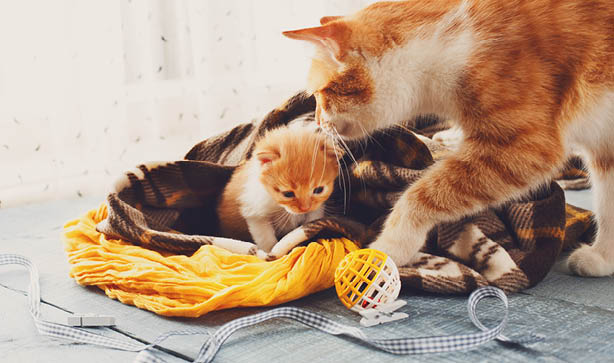 A ginger mama cat and her ginger kitten in blankets