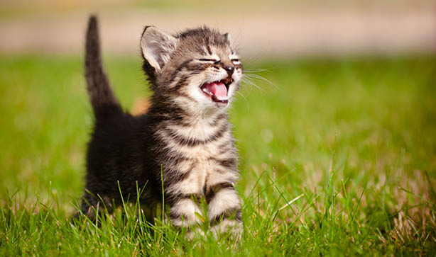 A tabby cat yawning