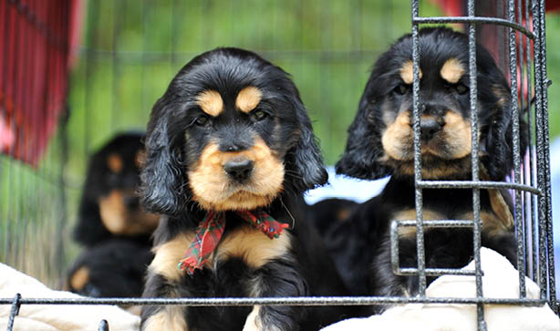 Sable Cocker Spaniel puppies wearing tartan ribbons while peering out from their puppy crate
