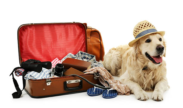 A golden retriever dog wearing a hat while laying next to a suitcase
