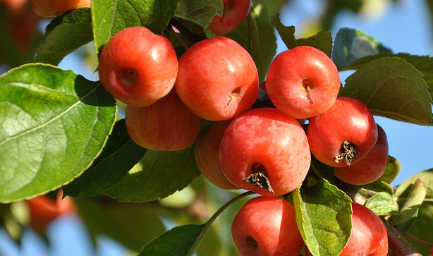 A close up of red apples on an apple tree
