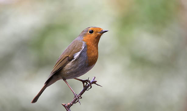 Small robin bird on a tree branch