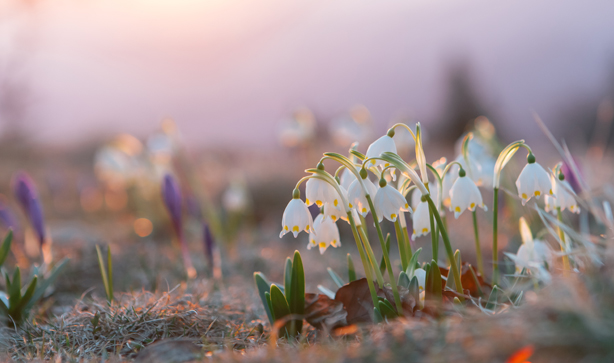 Winter Snowdrop Flowers In A Field