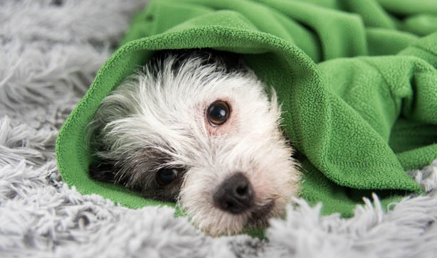 Dog wrapped in green blanket