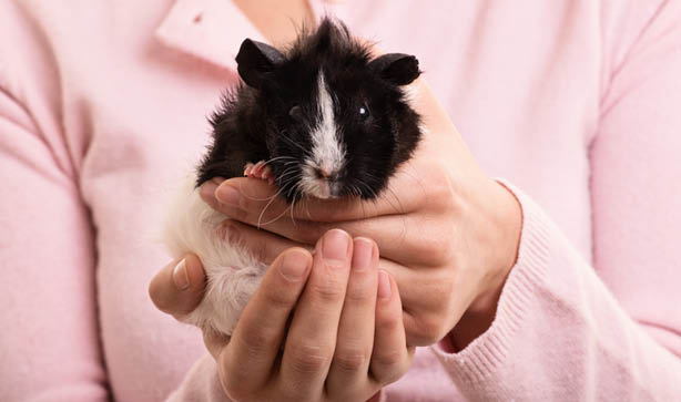black and white guinea pig being held