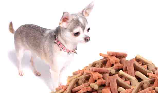 Chihuahua looking hungrily at biscuits