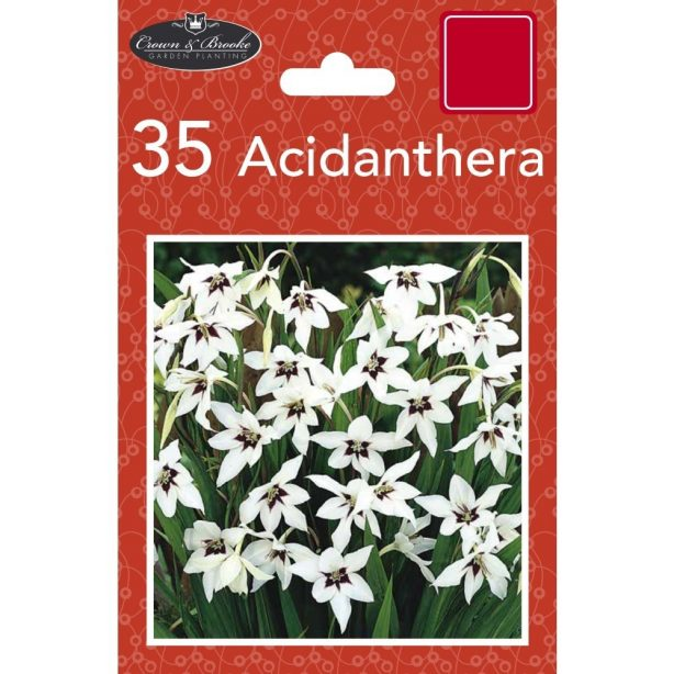 A packet of white Acidanthera bulbs from Poundstretcher