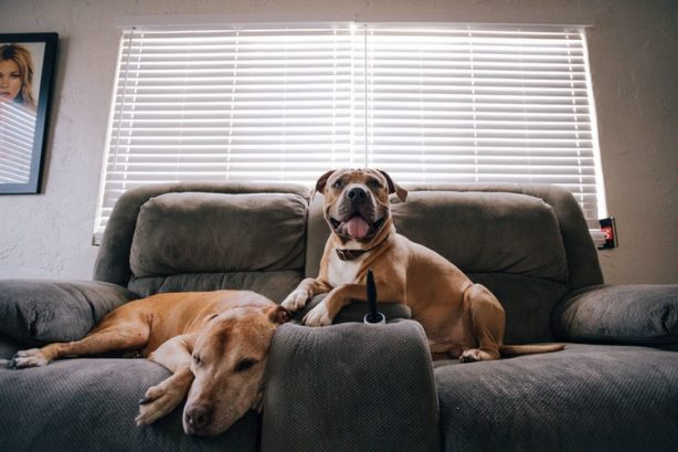 two dogs sat on a sofa in a home.